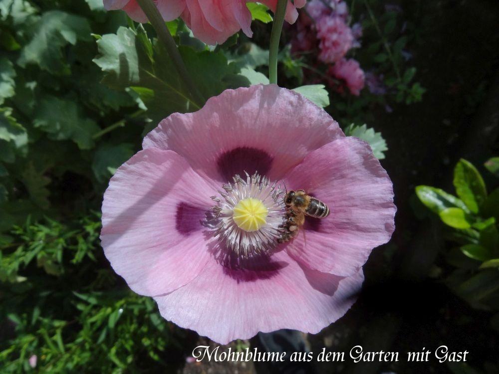 GartenMohnpflanzea.jpg