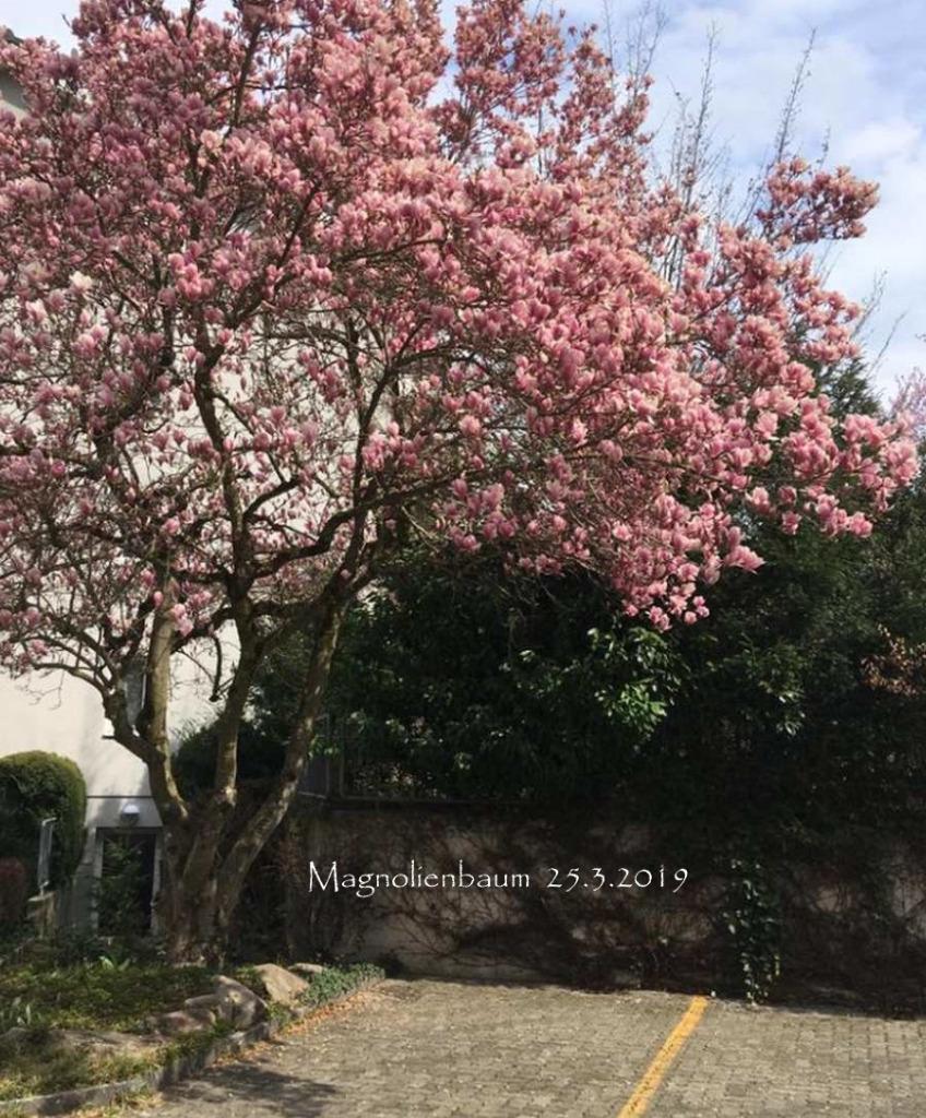 MagnolienbaumMontag_2019-03-26.jpg