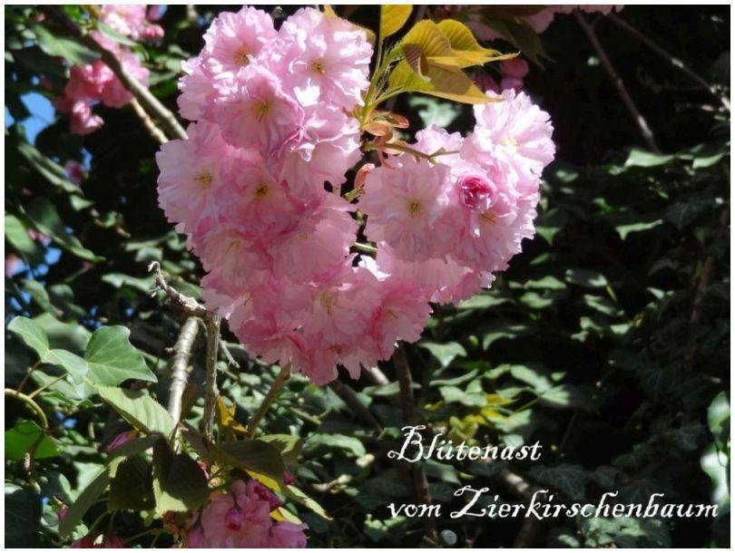 Zierkirschenbaum-Astok.jpg